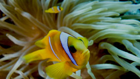 Amphiprion bicinctus (Red sea clownfish) Royalty Free Stock Photo