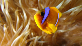 Amphiprion bicinctus (Red sea clownfish) Royalty Free Stock Image