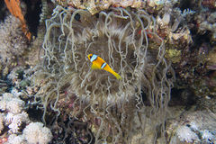 Amphiprion bicinctus (Red sea clownfish) Stock Photo