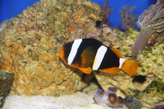 Amphiprion Clarkii stockbilder