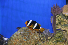 Amphiprion Clarkii Immagine Stock