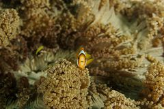 Amphiprion clarkii - Andaman Sea Royalty Free Stock Photography