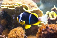 Amphiprion clarkii - Clarkii Clownfish Stock Photo