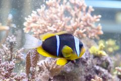 Amphiprion clarkii - Clarkii Clownfish Stock Photography