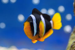 Amphiprion clarkii Stock Image