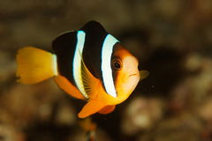 Amphiprion clarkii - Similan islands, Thailand Royalty Free Stock Photo