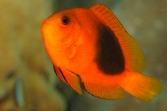 Amphiprion ephippium - Andaman Sea Royalty Free Stock Photography