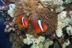 Amphiprion frenatus,. Tropical fish, underwater life of the exotic seas (Amphiprion frenatus, nemo, klown-fish Stock Images