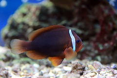 Amphiprion frenatus Stock Photos