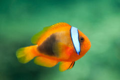 Amphiprion melanopus. Cinnamon Clownfish on blurred green background royalty free stock photos