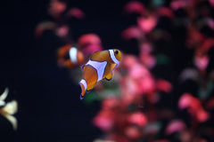 Amphiprion ocellaris Stock Image