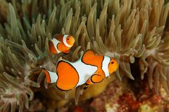 Amphiprion ocellaris - Andaman Sea Stock Image