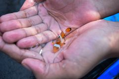 Amphiprion Ocellaris Clownfish in Hands.  royalty free stock photography