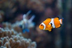 Amphiprion ocellaris -clownfish - Nemo Stock Photo