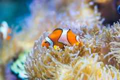 Amphiprion ocellaris - clownfish Royalty Free Stock Photos