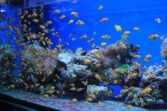Amphiprion ocellaris. Flock in an aquarium royalty free stock photos