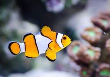 Amphiprion ocellaris in marine aquarium stock images