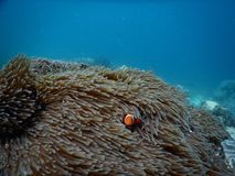 Amphiprion ocellaris Royalty Free Stock Photography