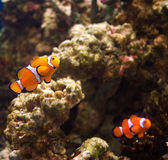 Amphiprion percula Royalty Free Stock Photography