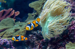 Amphiprion Percula Clownfish. A pair of Amphiprion Percula Clownfish in the aquarium royalty free stock photo