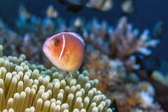 Amphiprion perideraion ,pink skunk clownfish, pink anemonefish,. Amphiprion perideraion also known as the pink skunk clownfish or pink anemonefish royalty free stock images