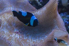 Amphiprion polymnus and large coral branch. Amphiprion polymnus against the backdrop of a large coral branch royalty free stock photos