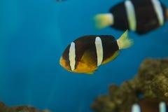 Amphiprion polymnus, także znać, jest czarny i biały gatunki anemon gdy comber z powrotem błaznuje ryba lub tuńczyk żółtopłetwowy zdjęcia stock