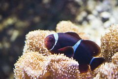 Amphiprion  Sp - Clownfish Stock Image