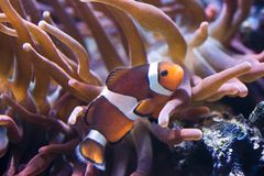 Amphiprion Sp - Clownfish. Snuggles into the host anemone stock photo