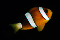 amphiprionanemonefishclark clarkii s Royaltyfri Foto