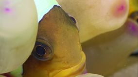 Amphiprionbicinctus, Clownvissen werd gevonden in Rode overzees stock videobeelden
