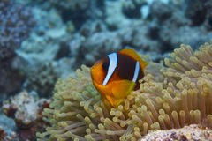 Amphiprionbicinctus - nemo - clownfisk Royaltyfri Fotografi