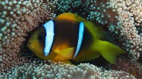 Amphiprionbicinctus (Röda havetclownfish) Arkivfoto