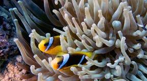 Amphiprionbicinctus (Röda havetclownfish) Arkivfoton