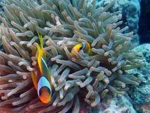 Amphiprionbicinctus (Röda havetclownfish) Arkivbild