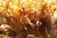 Amphiprioni ocellaris - clown fish. In coral reef Stock Images