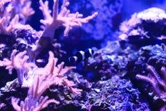 Amphiprioninae ή clownfish Στοκ εικόνα με δικαίωμα ελεύθερης χρήσης