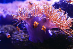 Amphiprioninae ή clownfish Στοκ φωτογραφίες με δικαίωμα ελεύθερης χρήσης
