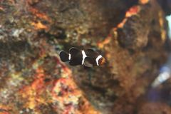 Amphiprioninae or clownfish Stock Image