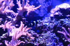 Amphiprioninae or clownfish Royalty Free Stock Image
