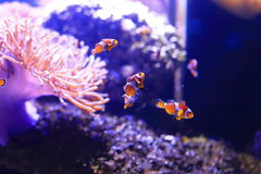Amphiprioninae or clownfish Stock Images