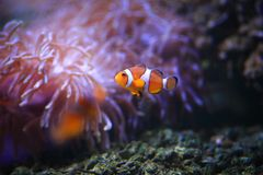 Amphiprioninae Royalty Free Stock Photo