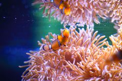 Amphiprioninae. Clownfish are native to warmer waters of the Indian and Pacific oceans, including the Great Barrier Reef and the Red Sea. While most species have royalty free stock image