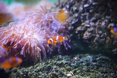 Amphiprioninae Royalty Free Stock Photos