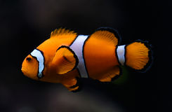 Amphiprioninaeaka Ocellaris clownfish Stock Foto
