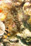 Amphiprionmelanopus Clownfish Royaltyfria Foton