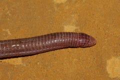 Amphisbaenian - Blanus cinereus Royaltyfri Bild