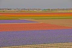 Ampi campi stupefacenti dei tulipani oltre una città Fotografia Stock