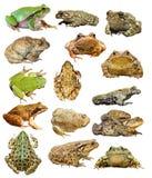 Ampia raccolta delle rane e dei rospi isolati Immagini Stock