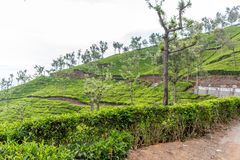 Ampia vista delle piantagioni verdi dell'albero con gli alberi nel fratempo, Ooty, India, il 19 agosto 2016 Immagini Stock